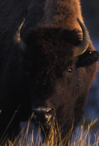 Bison on the Great Plains